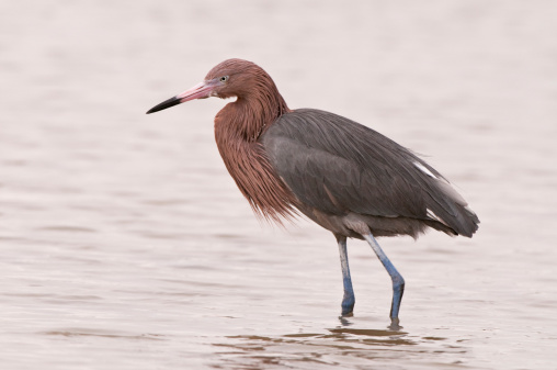 Beak「Reddish Egret in Breeding Plumage (Egretta rufescens), Fort Myers Beach, Florida, USA」:スマホ壁紙(15)