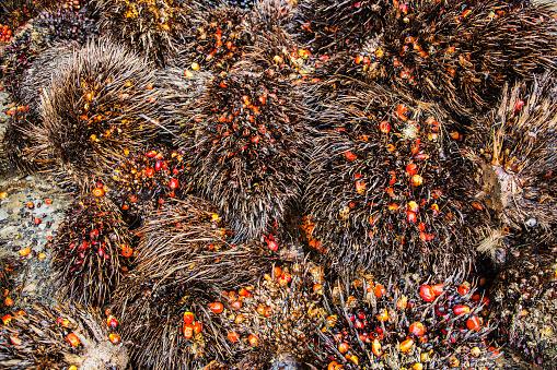 Deforestation「Palm oil fruit responsible for forest destruction」:スマホ壁紙(18)