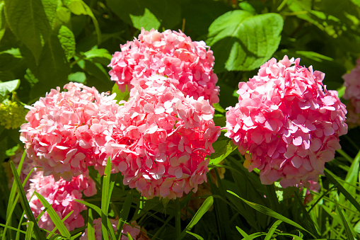 アジサイ「Pink-flowered hydrangea shrubs」:スマホ壁紙(6)