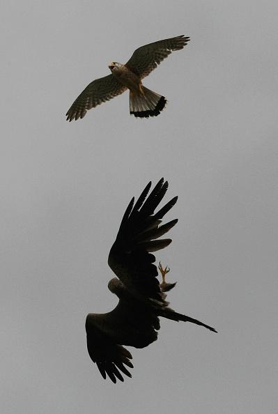 Animals Hunting「Raptors Fight In Mid-Air」:写真・画像(12)[壁紙.com]