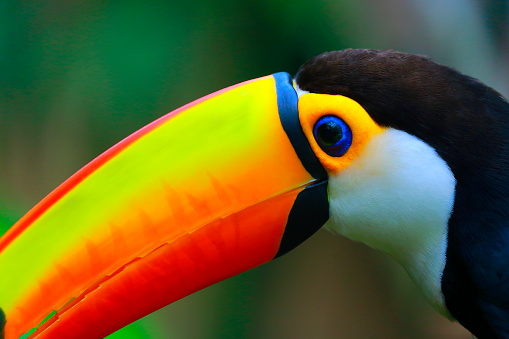 Beak「Colorful cute Toucan tropical bird in Brazilian Pantanal – blurred background」:スマホ壁紙(0)