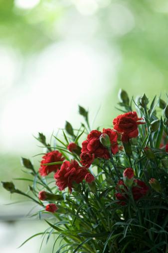 カーネーション「Carnation flower」:スマホ壁紙(1)