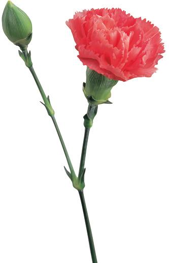 カーネーション「carnation flower and bud」:スマホ壁紙(4)