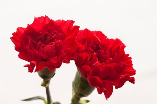 Mother's Day「Carnation Flowers」:スマホ壁紙(17)