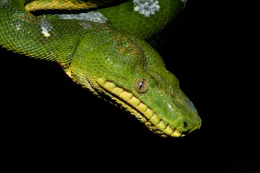 Amazon Rainforest「Emerald Tree Boa (Snake)」:スマホ壁紙(13)