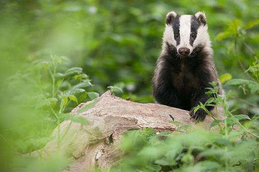 Wilderness Area「European badger (Meles meles)」:スマホ壁紙(5)