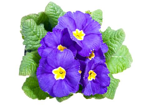 一輪の花「Primrose 白で分離」:スマホ壁紙(18)