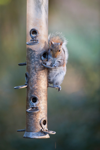 Gray Squirrel「Grey squirrel (Sciurus carolinensis) on bird feeder, Norfolk, UK」:スマホ壁紙(16)