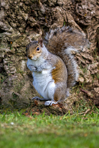 Gray Squirrel「Grey Squirrel at the bottom of a tree in a London Park.」:スマホ壁紙(15)