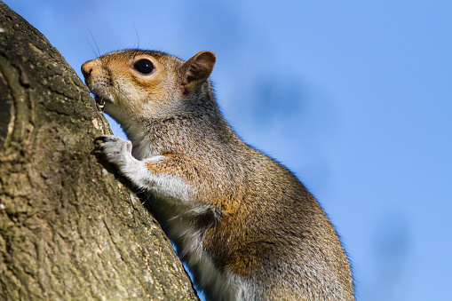 Tree Squirrel「Grey Squirrel climbing to the tree top.」:スマホ壁紙(7)