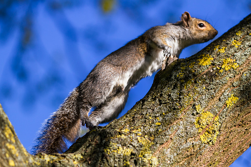 Gray Squirrel「Grey Squirrel climbing to  the tree top.」:スマホ壁紙(0)