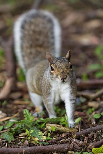 Gray Squirrel「Grey Squirrel」:スマホ壁紙(8)