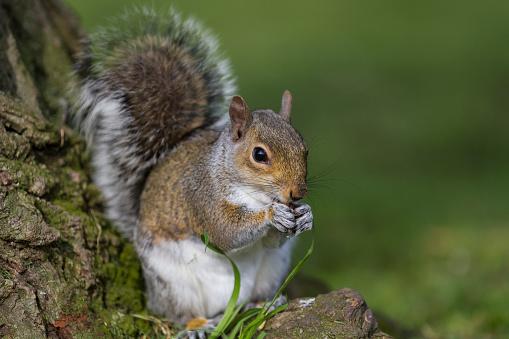 リス「Grey Squirrel」:スマホ壁紙(15)