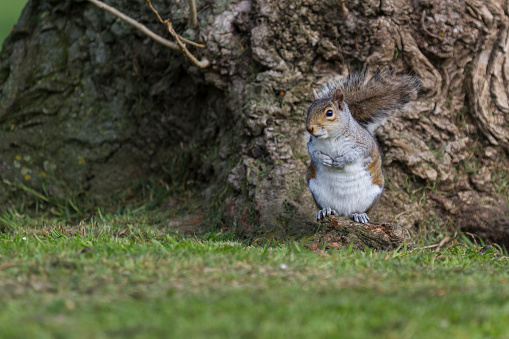 Gray Squirrel「Grey Squirrel」:スマホ壁紙(7)