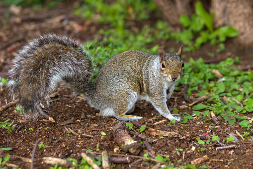 Gray Squirrel「Grey Squirrel」:スマホ壁紙(8)