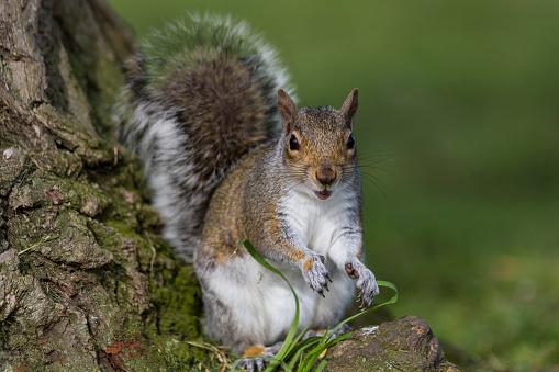 Gray Squirrel「Grey Squirrel」:スマホ壁紙(9)