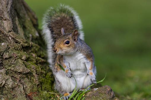Gray Squirrel「Grey Squirrel」:スマホ壁紙(15)