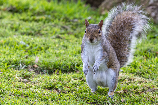 Gray Squirrel「Grey Squirrel」:スマホ壁紙(16)