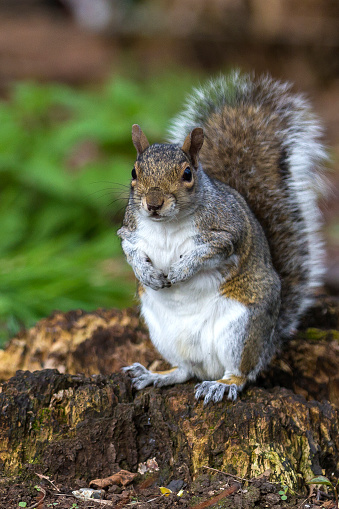 Gray Squirrel「Grey Squirrel」:スマホ壁紙(15)