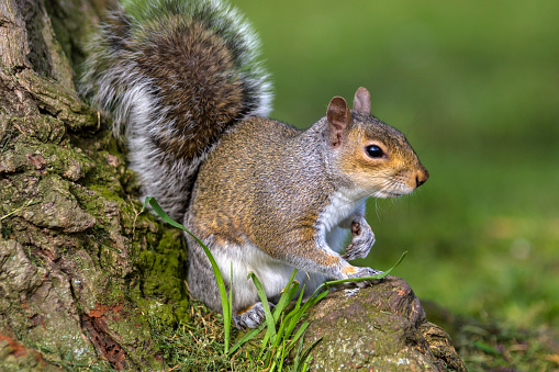 Gray Squirrel「Grey Squirrel」:スマホ壁紙(0)