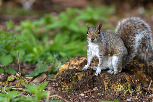 Gray Squirrel「Grey Squirrel」:スマホ壁紙(14)
