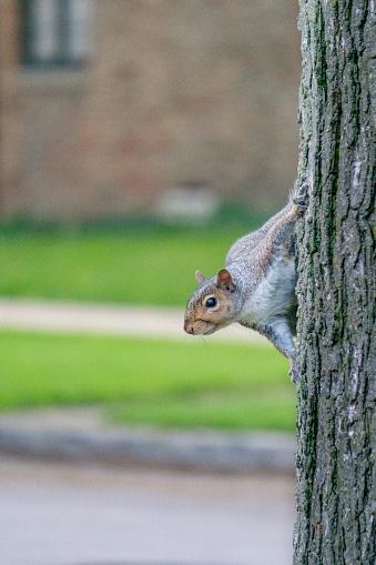 Gray Squirrel「Grey squirrel climbing a tree, United states」:スマホ壁紙(10)