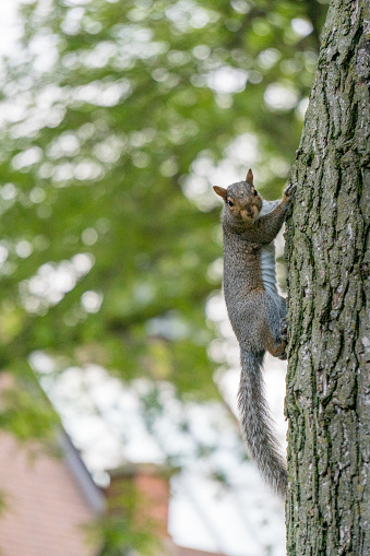Gray Squirrel「Grey squirrel climbing a tree, United states」:スマホ壁紙(1)