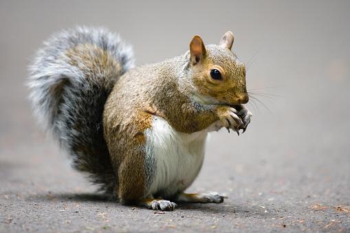 Squirrel「灰色リス-超高解像度」:スマホ壁紙(0)