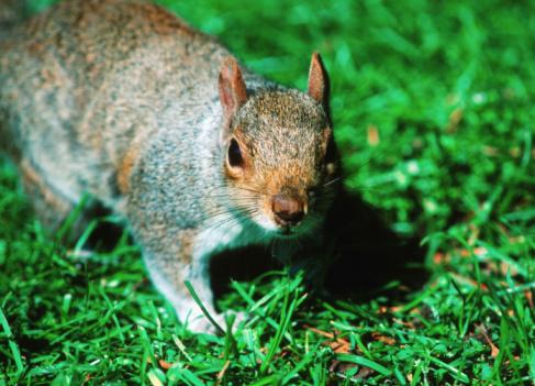 Gray Squirrel「Grey squirrel (Sciurus carolinensis) on grass, close-up」:スマホ壁紙(11)