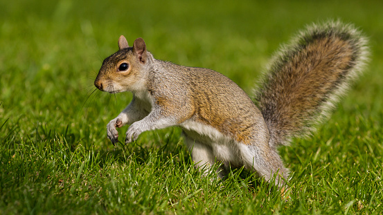 Gray Squirrel「Grey Squirrel running.」:スマホ壁紙(2)