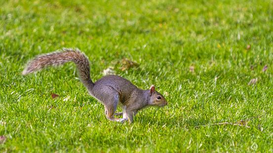 Gray Squirrel「Grey Squirrel running」:スマホ壁紙(5)