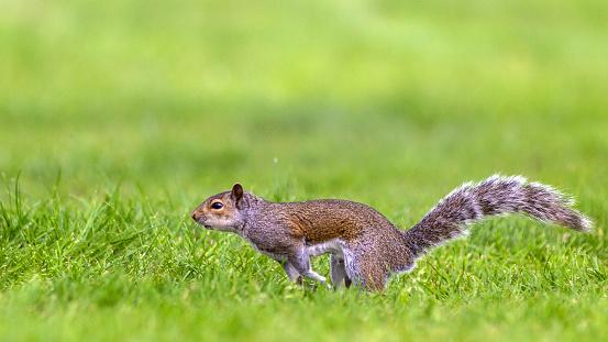 Gray Squirrel「Grey Squirrel running.」:スマホ壁紙(8)