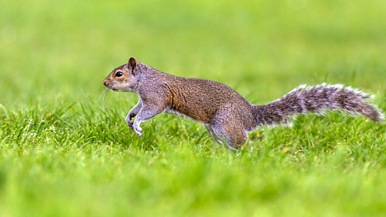 Gray Squirrel「Grey Squirrel running.」:スマホ壁紙(6)