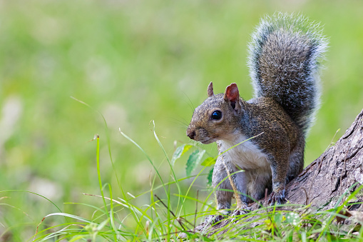 Gray Squirrel「Grey squirrel」:スマホ壁紙(6)