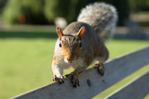 Gray Squirrel「Grey squirrel (Sciurus carolinensis) on park bench, close-up」:スマホ壁紙(8)