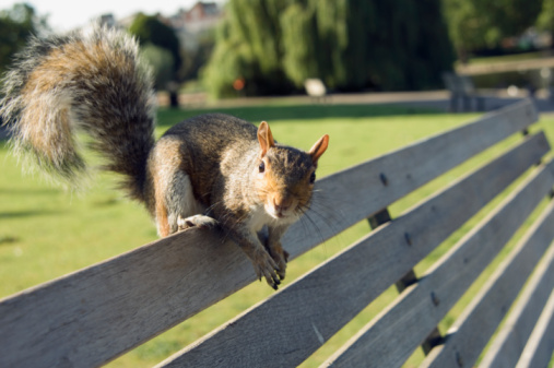 Gray Squirrel「Grey squirrel (Sciurus carolinensis) on park bench, close-up」:スマホ壁紙(6)