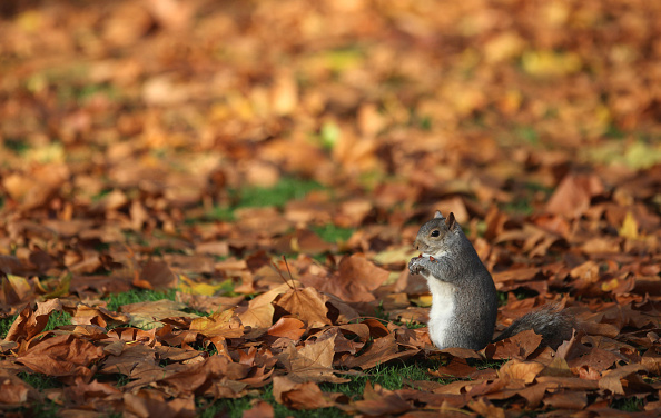 Gray Squirrel「Visitors To London Enjoy The Warm Autumnal Weather」:写真・画像(2)[壁紙.com]