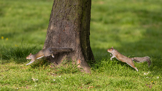 リス「Grey Squirrel chasing」:スマホ壁紙(13)