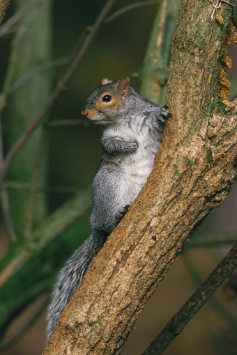 Gray Squirrel「Grey Squirrel」:スマホ壁紙(19)