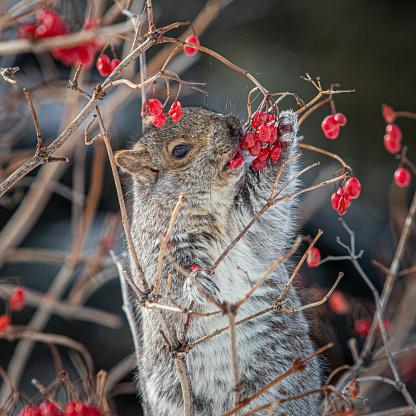 Gray Squirrel「Grey Squirrel, (Sciurus carolinensis), Eastern gray squirrel, Viorne obier, (Viburnum opulus), pink guelder.」:スマホ壁紙(4)
