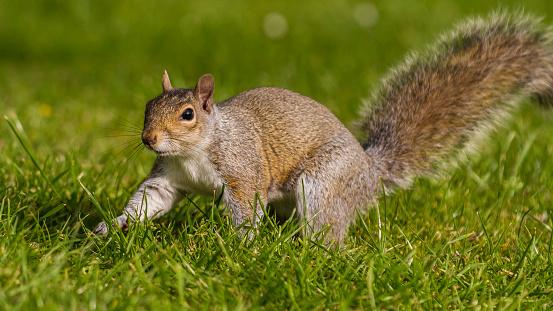 Squirrel「Grey Squirrel in a London park」:スマホ壁紙(18)