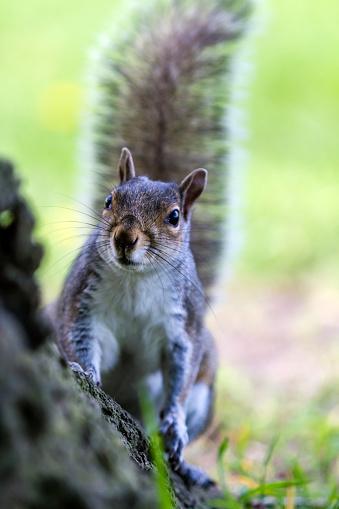 Gray Squirrel「Grey Squirrel in a London park」:スマホ壁紙(3)