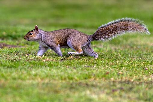 Gray Squirrel「Grey Squirrel in a London park.」:スマホ壁紙(3)