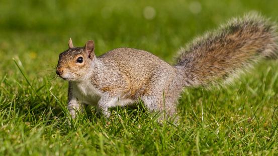 Squirrel「Grey Squirrel in a London park」:スマホ壁紙(19)