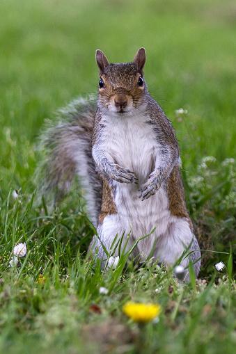 Gray Squirrel「Grey Squirrel in a London park」:スマホ壁紙(1)