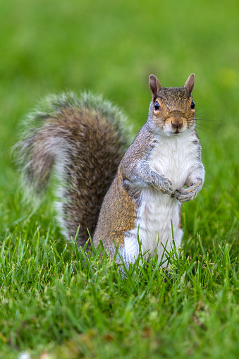 Gray Squirrel「Grey Squirrel in a London park」:スマホ壁紙(5)