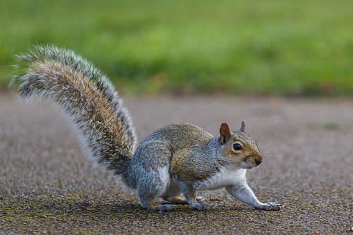 Gray Squirrel「Grey Squirrel in a London park.」:スマホ壁紙(10)