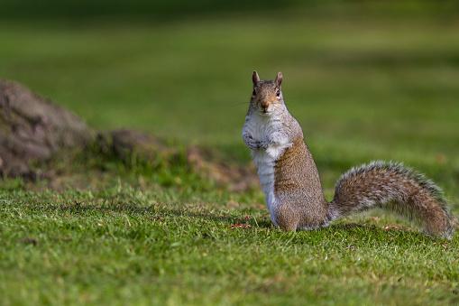 Squirrel「Grey Squirrel in a London park.」:スマホ壁紙(15)