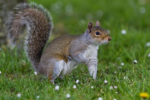 Squirrel「Grey Squirrel in a London park」:スマホ壁紙(14)