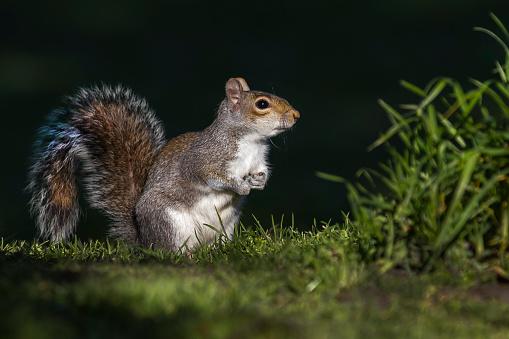 Squirrel「Grey Squirrel in a London park.」:スマホ壁紙(5)
